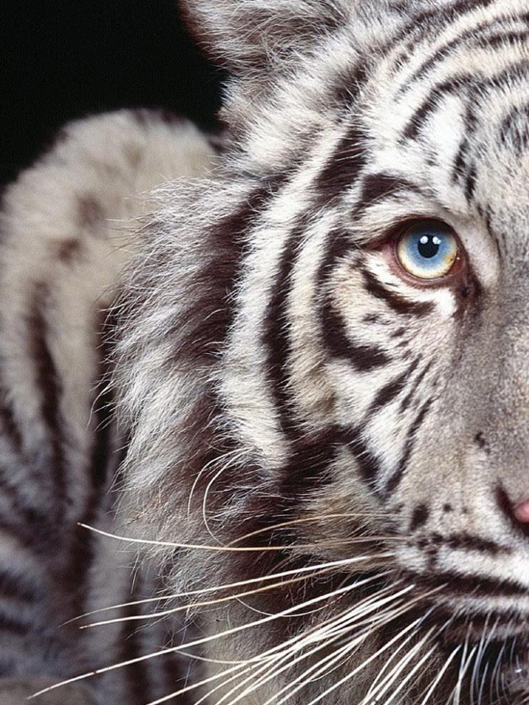 Tigre Branco Olhos Azuis Non Retina Ipad Wallpaper Atomic Papers