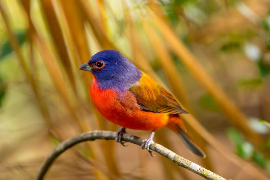 Florida | Painted Bunting Sitting on a Perch