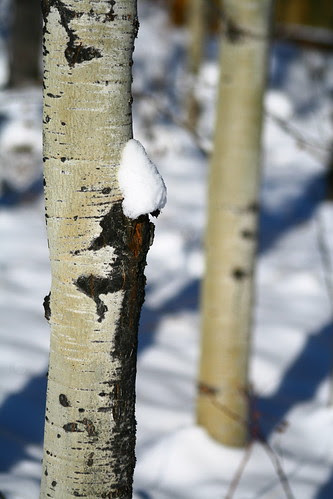 Snow-Capped Birch by gina.blank