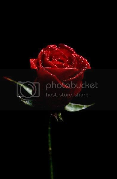 Red rose Pictures, Images and Photos