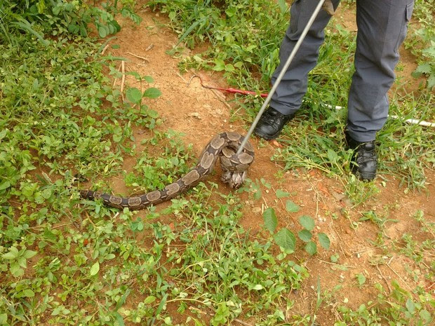 Réptil estava enrolada em uma árvore (Foto: Divulgação/Corpo de Bombeiros)