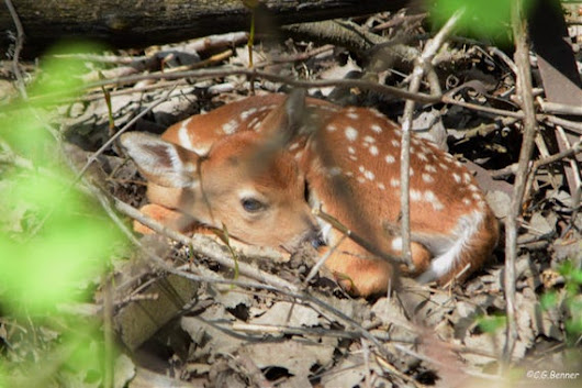 Fawn Waiting for Mother