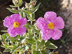 Cistus albidus flowers.jpg