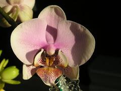 Phalaenopsis Melody