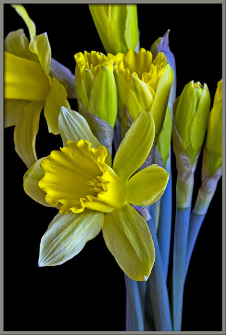 Mic Uk A Close Up View Of The Daffodil Narcissus Pseudonarcissus