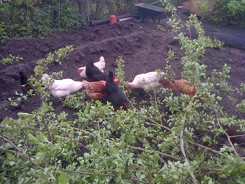 hens May 13 1