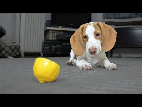 Cute Puppy vs. Lemon - Video