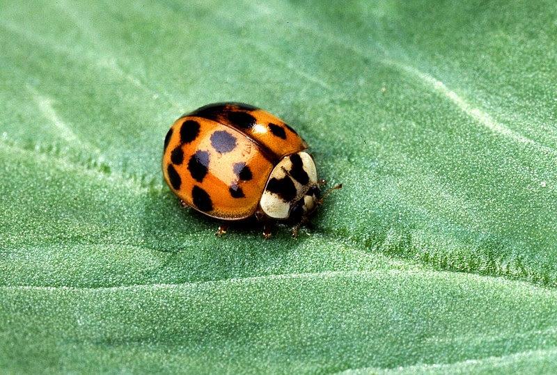 File:Asian multicolored lady beetle.jpg
