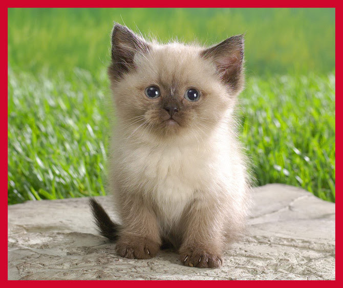Cutest cat breeds in the world insured by laura for Cutest house in the world