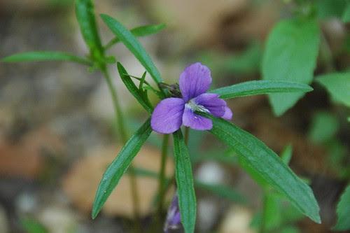 Viola brittoniana, Coast Violet