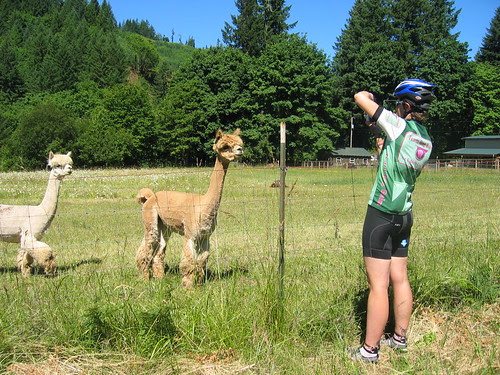 The Llamas had to come see what was going on