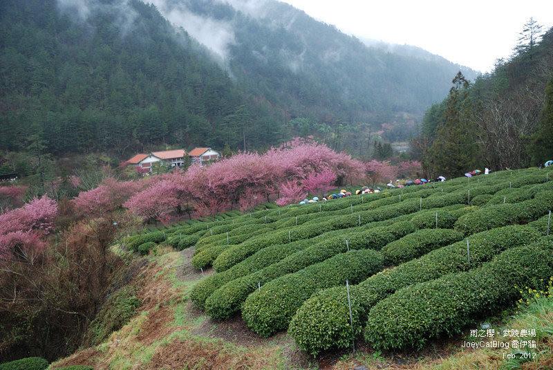 2012_0227_雨之櫻。武陵農場DSC_4360_27