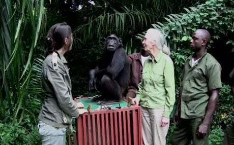 ximpantzis.JPG_2014_1_24_12_49_1.jpg_b2
