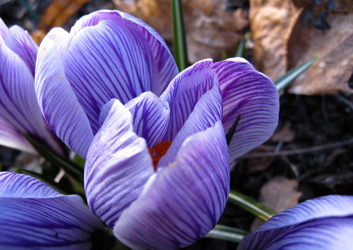 crocus in purple & white