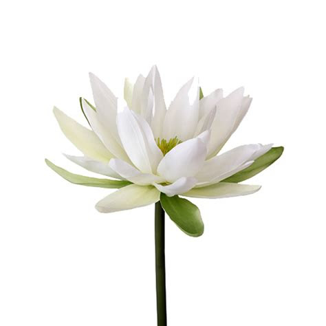 water lily png transparent image