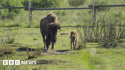 Banff National Park welcomes first bison calves in 140 years - BBC News