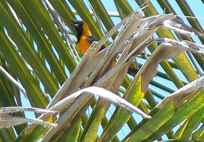 oiseau Tulum.jpg
