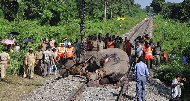 Death tracks: Nearly 40 elephants have been killed along the track since it was upgraded in 2004