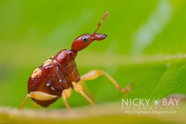 Leaf-Rolling Weevil (Attelabidae) - DSC_9620
