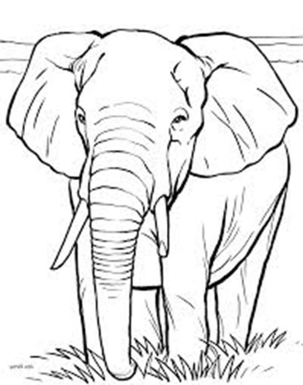 African Elephant Coloring Page - NetArt