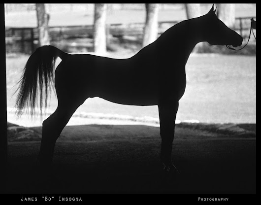 Arabian Horse Silhouette Black And White Print by James BO  Insogna