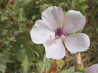Althea officinalis