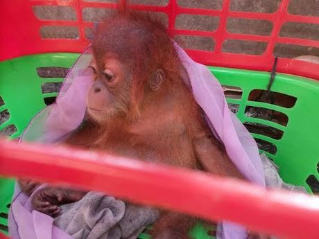Bayi Orangutan ini Dibanderol Rp 50 Juta oleh Pedagang Satwa di Facebook 707e832453