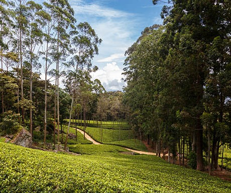 Top 5 experiences to celebrate Ceylon tea - A Luxury Travel Blog