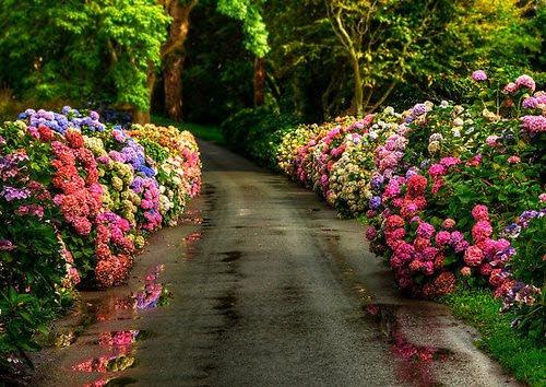 Hydrangea Lane, Dorset, England