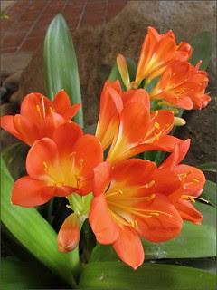 Orange bush lily 2