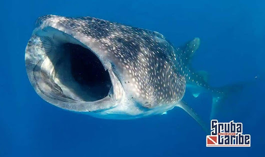 Swim with the world's largest fish this summer in Mexico – sighting guaranteed!