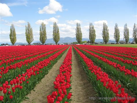 tulip fields netherlands awesome wallpaper windows