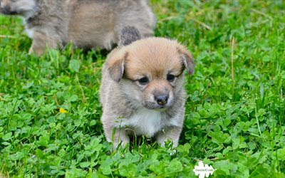 Download wallpapers Welsh Corgi Cardigan, 4k, puppy, cute animals, green grass, small dog for desktop free. Pictures for desktop free