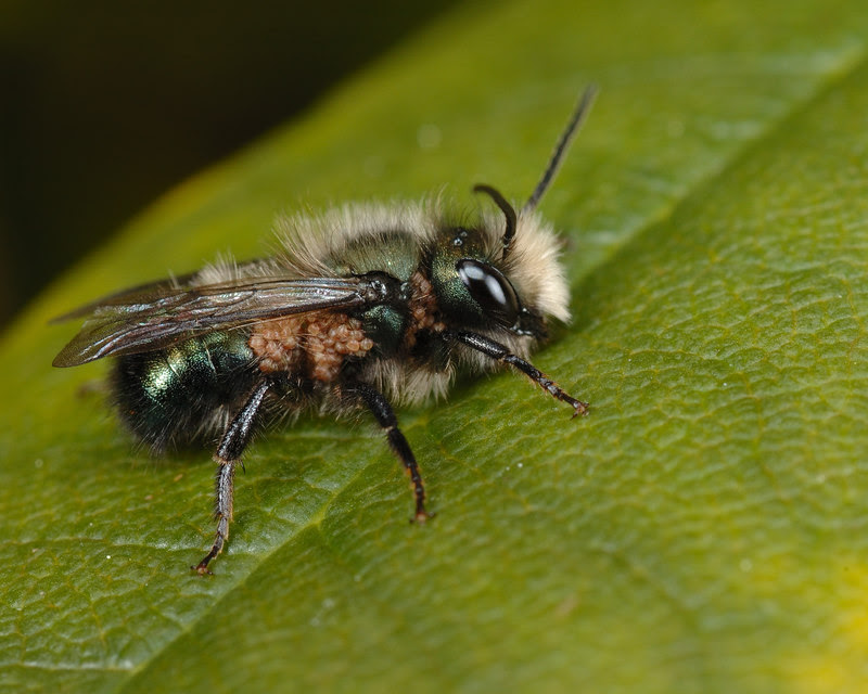 Male Mason Bee with mites