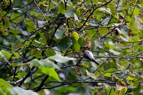 Green (Mountain) Alder Catkins (Alnus viridis)-1.jpg
