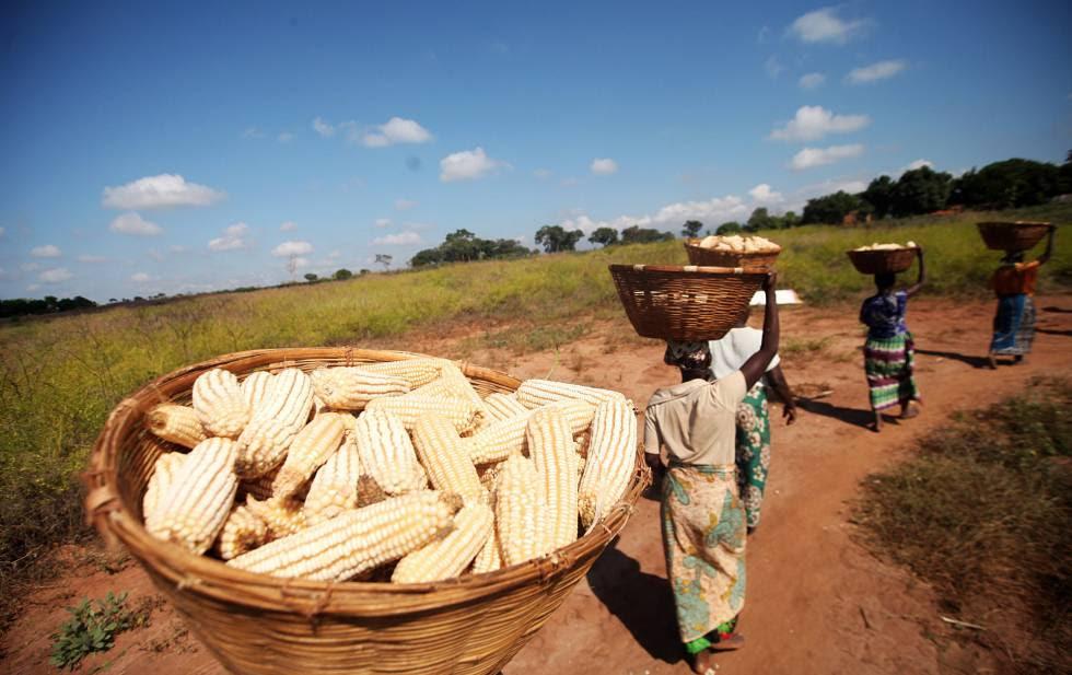 Agricultores mozambiqueños llevan maíz a su pueblo para procesarlo.