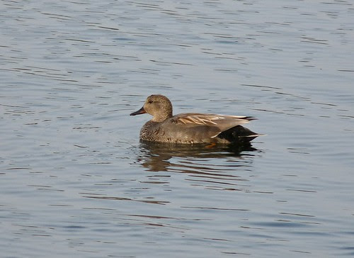 12300 - Male Gadwall at Sandy Water Park
