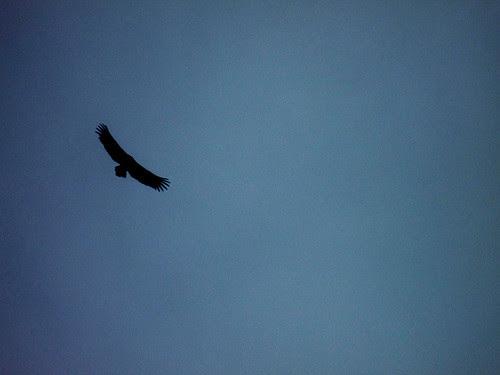 himalayan griffon silhouette