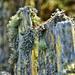 Moss on Fence