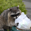 Raccoons: Raccoon Facts & Removal - Nuisance Wildlife