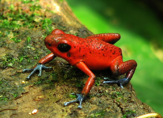 Dart Poison Frog Care and Natural History - An Overview