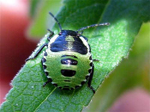 Käfergesicht in grün