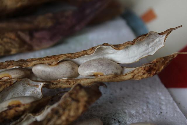 drying bean pods