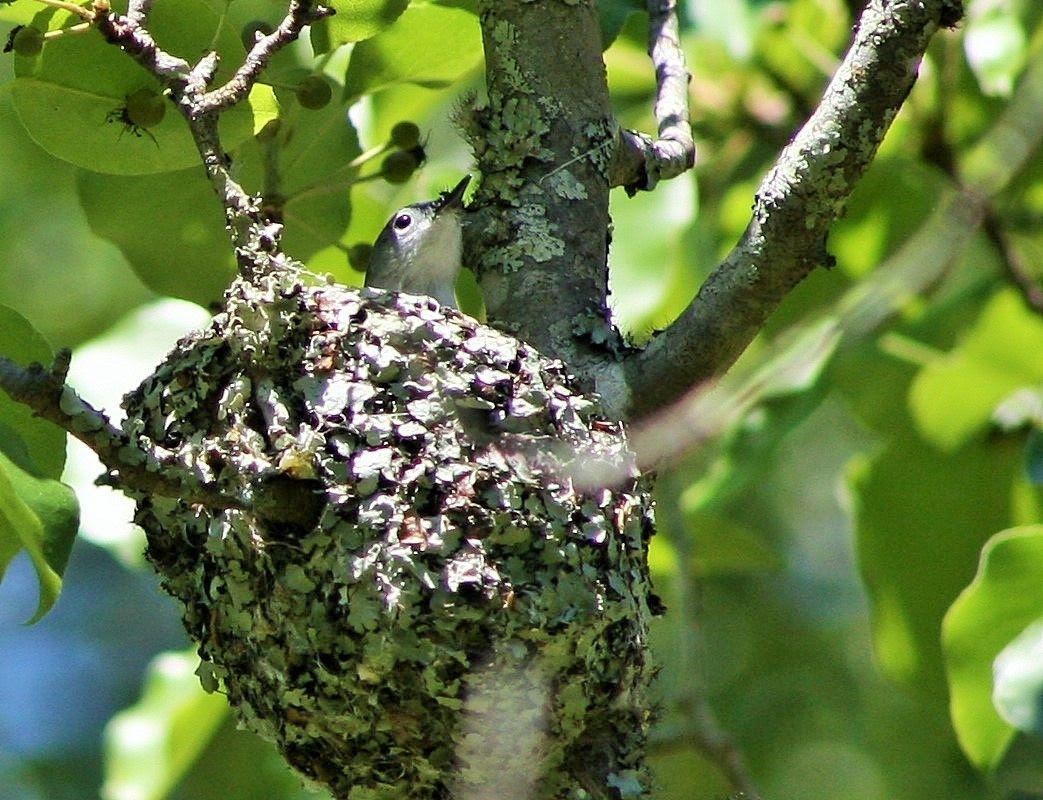 Blue-gray Gnatcatcher on nest photo 20150421_62_zpsj47xszlz.jpg