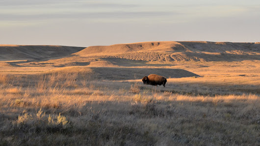 This Land was Built for Bison