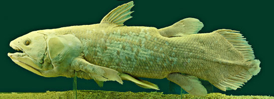Preserved specimen of chalumnae (Also known as Coelacanth) in the Natural History Museum, Vienna, Austria.