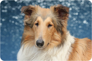 Cumplemes [ROUGH COLLIE] Agosto 2010