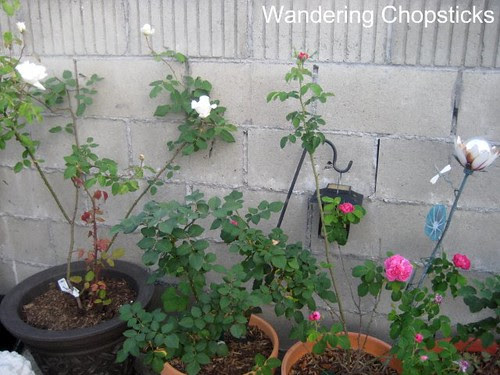 4.14 Snowbird Rose 3