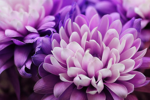 Chrysanthemum #1