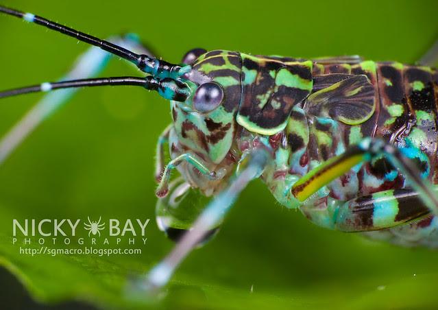 Cricket (Gryllidae) - DSC_8097